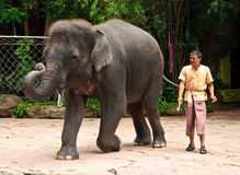 Asian Elephant or Elephas maximus show Royalty Free Stock Images