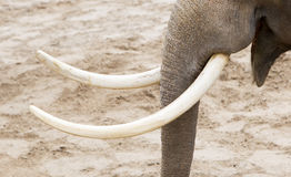 Asian elephant (Elephas maximus) tusks close-up Stock Photo