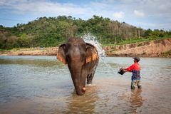 Asian Elephant Elephas maximus walking in a fleet river near Luang Prabang stock image
