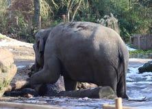 Asian elephant Royalty Free Stock Photo