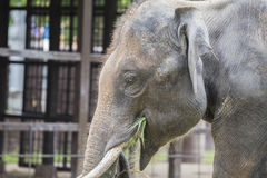 Asian elephant enjoy eating grass Royalty Free Stock Images