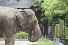 Asian elephant enjoy eating grass Royalty Free Stock Image