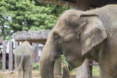 Asian elephant enjoy eating grass Royalty Free Stock Photos