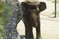 Asian elephant enjoys a waterfall shower at the LA Zoo stock photography