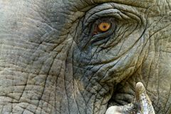 Asian elephant eye Royalty Free Stock Photo