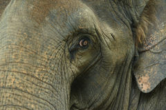 Asian elephant eyes are looking Stock Image