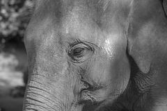 Asian elephant face close up in black and white. Asiatic elephant face close up in black and white color stock photo