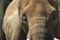 Asian Elephant Face  - Pachyderm Royalty Free Stock Photos