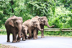 Asian elephant family Stock Photos