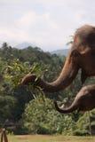 Asian elephant family. A family of Asian elephants in the elephant orphanage in Sri Lanka Royalty Free Stock Image