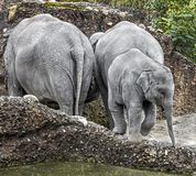 Asian elephant family 1 Royalty Free Stock Image
