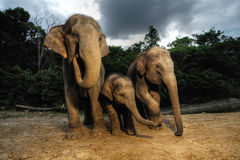 The Asian elephant Royalty Free Stock Photos