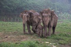 Asian elephant family in Thailand. Baby elephant and parents at an Asian elephant nature park reserve in rural Thailand near Chiang Mai. Refuge for wild and Royalty Free Stock Photos