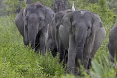 Asian elephant family walking down a path Stock Photo