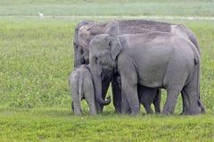 Asian elephant family walking down a path Royalty Free Stock Photos