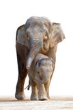 Asian elephant familys walking