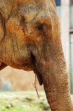 Asian elephant feeding. Asian elephant eating a twig Stock Photography
