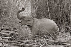 Asian Elephant Feeding. Elephant feeding on bamboo on the banks of the Kabini River at Nagarhole National Park, Karnataka, India Royalty Free Stock Photo