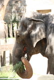 Asian elephant feeding Royalty Free Stock Photography