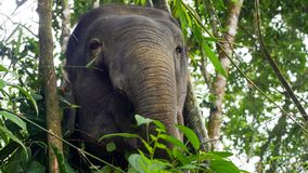 Asian elephant female eating grazing in the jungle, phang nga, Thailand. Asian elephant female eating grazing in the jungle, phang nga elephant park, Thailand royalty free stock photography