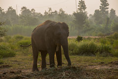 Asian elephant in the forest, surin, Thailand. Asian elephant in the forest surin Thailand royalty free stock photo