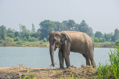 Asian elephant in the forest, surin, Thailand royalty free stock photography