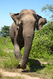 Asian elephant front view Royalty Free Stock Photo