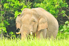 Asian Elephant  in grassland at Khao Yai national park, Thailand Stock Photo
