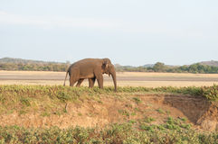 Asian elephant grazing on the grassland Stock Images