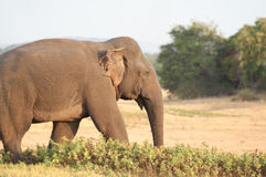 Asian elephant grazing on the grassland close up Stock Photo