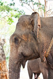 Asian Elephant head Stock Photo