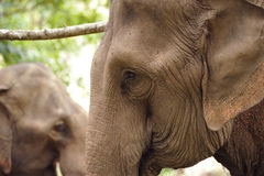Asian Elephant head Stock Photos