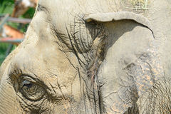 Asian elephant head close up Royalty Free Stock Images