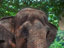 Asian elephant head. Stock Photography