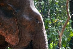 Asian elephant head profile with forest background Stock Photo