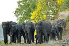 Asian Elephant Herd. Elephant having a dust bath on the banks of the Kabini River at Nagarhole National Park, Karnataka, India Royalty Free Stock Photography