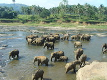 Asian Elephant Herd at Watering Hole Royalty Free Stock Photography