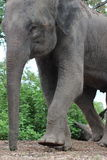 Asian Elephant. This Asian Elephant image has been captured in Thailand, he was doubting and observing us from far away Royalty Free Stock Photo