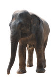 Asian elephant isolated Stock Images
