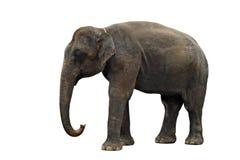 Asian elephant isolated on white. Background Royalty Free Stock Images