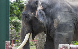 Asian elephant with ivory Stock Photo