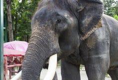 Asian elephant with ivory Royalty Free Stock Image