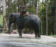 Asian elephant with ivory Royalty Free Stock Photo