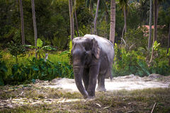 Asian elephant in jungle forest. Thailand Stock Photos