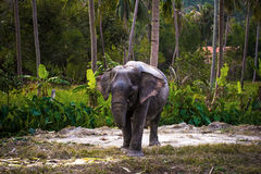 Asian elephant in jungle forest. Thailand Royalty Free Stock Photos