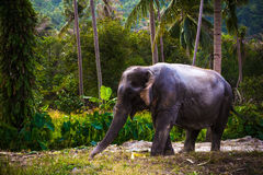 Asian elephant in jungle forest. Thailand Stock Photography