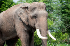 Asian Elephant in the lush green grass. Royalty Free Stock Photography
