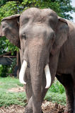 Asian Elephant in the lush green grass. Stock Image
