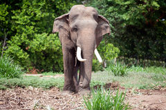 Asian Elephant in the lush green grass. Royalty Free Stock Image