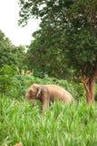 Asian Elephant in the lush green grass. Stock Photos